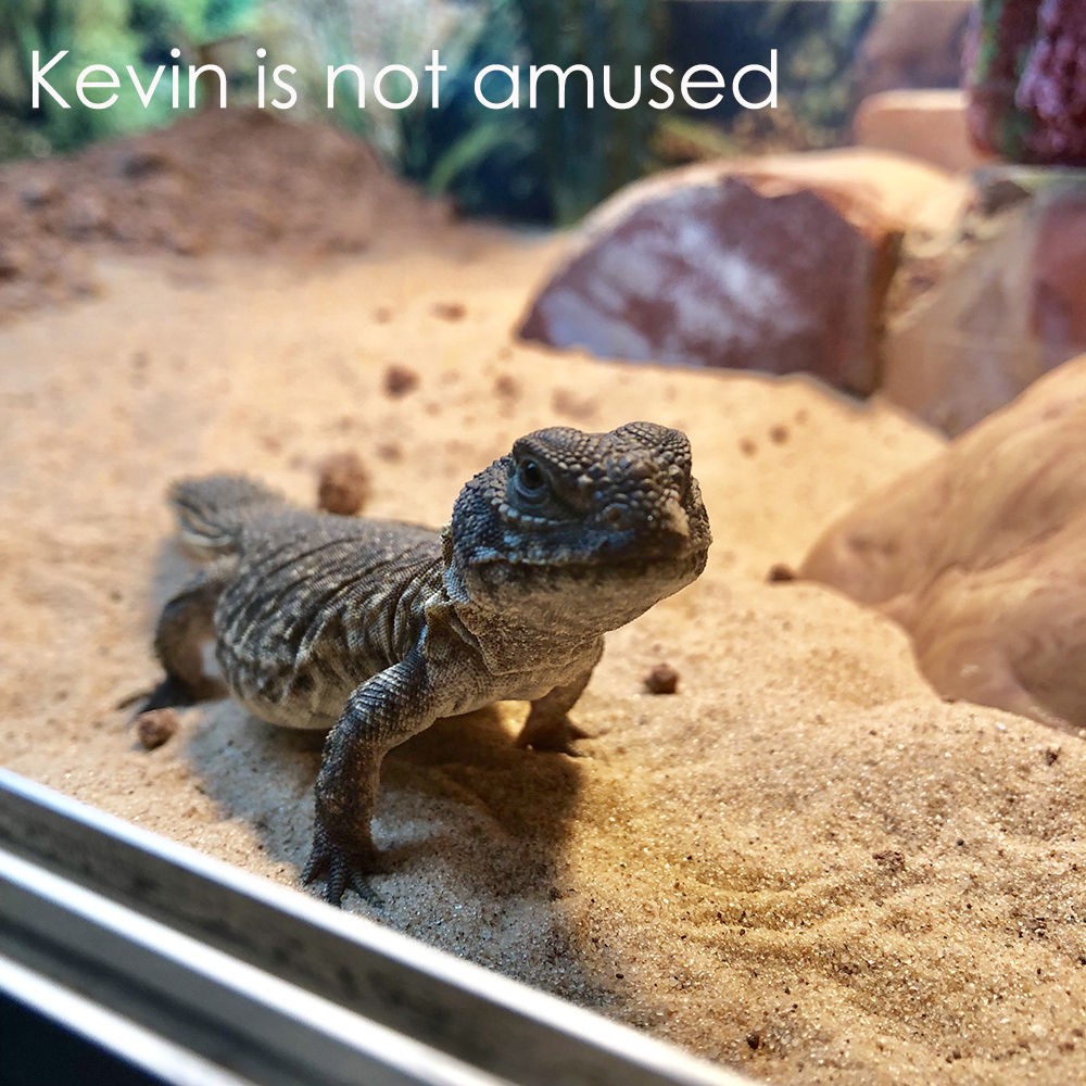 uromastyx in tank