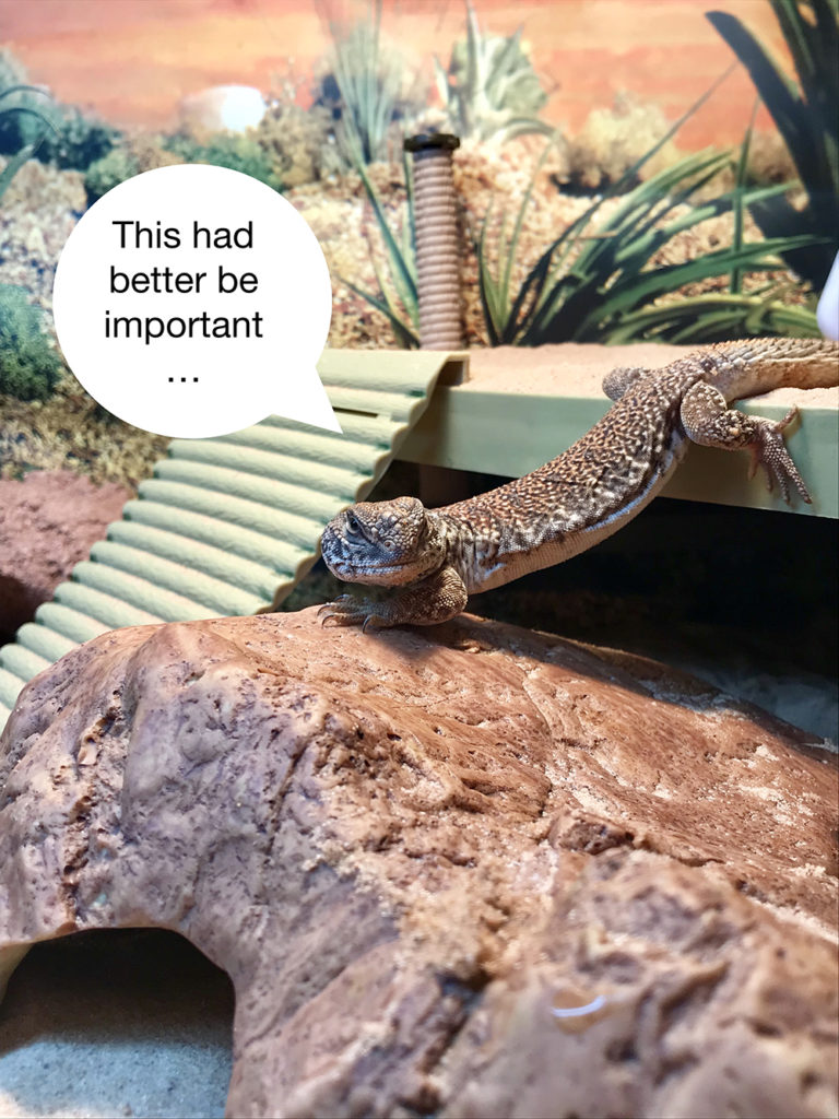 A uromastyx in vivarium