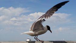 Kemah Boardwalk seagull