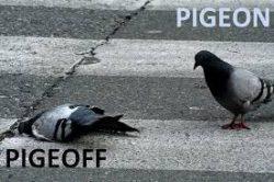 Pigeon off