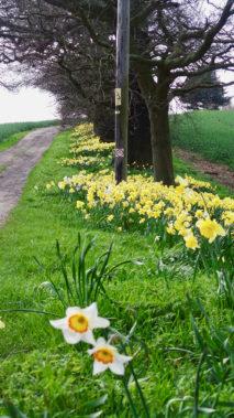 Daffodils in England