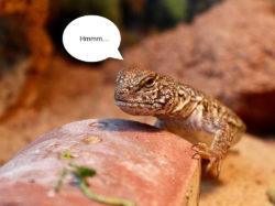 uromastyx Moroccan lizard