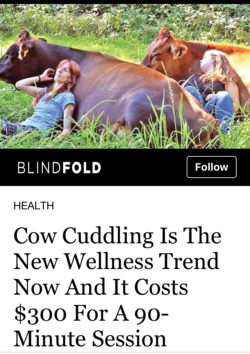 Cow Cuddling experience Advert