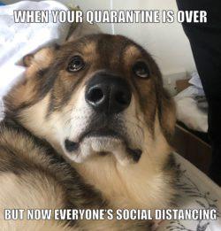wolfdog meme about corona quarantine
