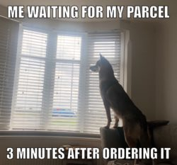 wold dog at window meme