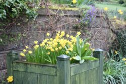 daffodil's in a box