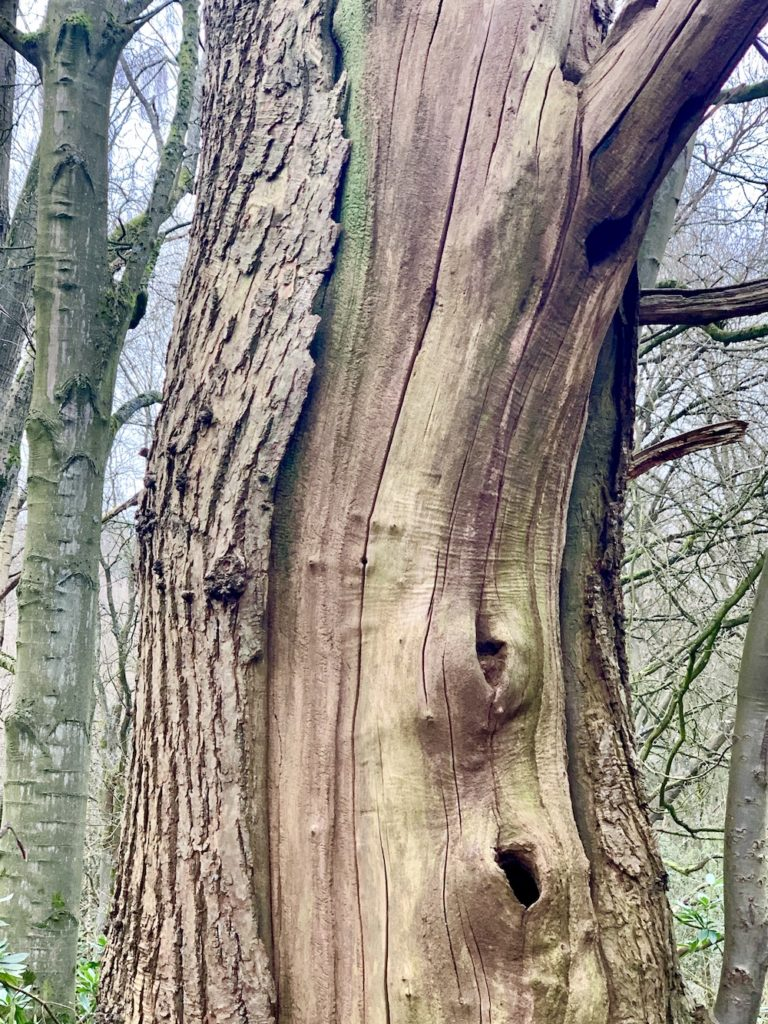 tree in the woods- close up of interesting bark shape and colour